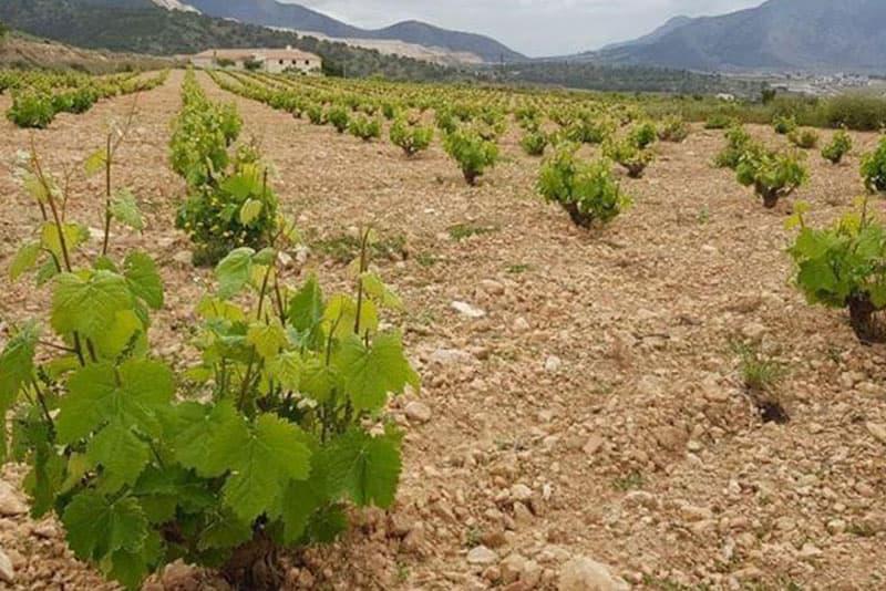 Viñedos de la provincia de Alicante