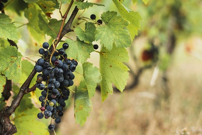 Baya de uva monastrell