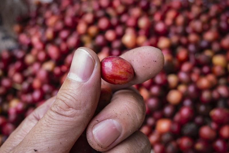 grano de café de origen